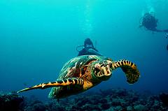 Malediven schildpad